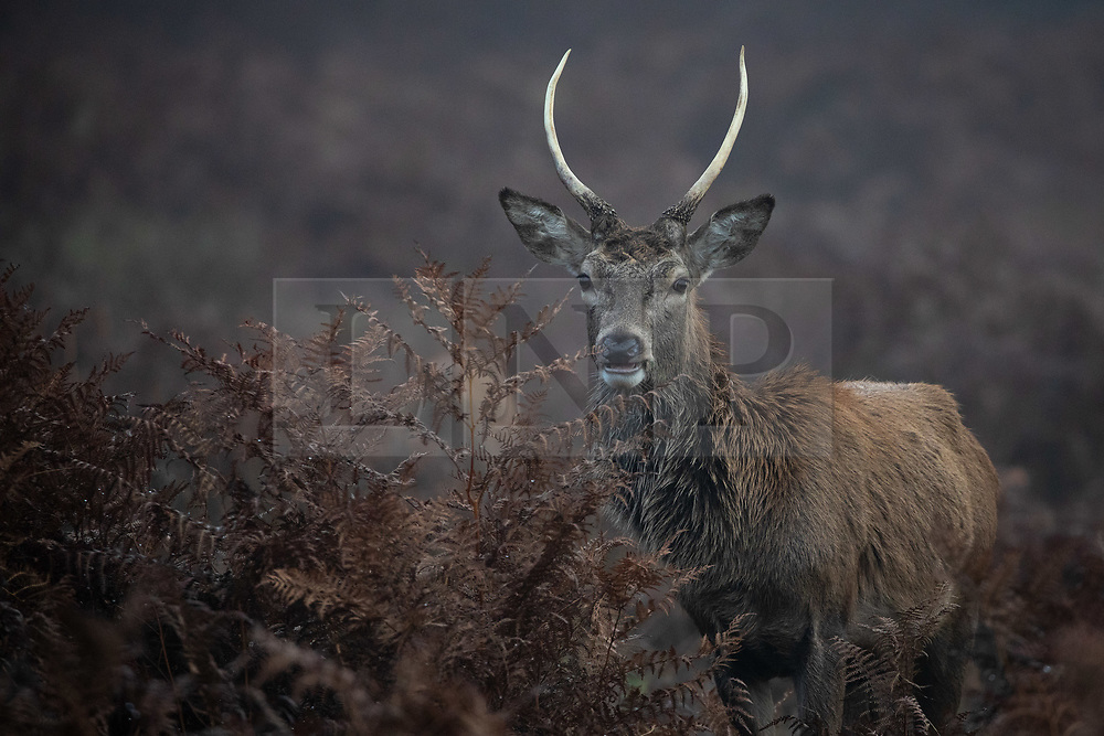 © Licensed to London News Pictures. 30/11/2019. London, UK. A deer in Richmond Park on a cold and misty morning. Tomorrow is the start of meteorological winter. Photo credit : Tom Nicholson/LNP