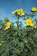 SHRUBBY CINQUEFOIL Potentilla fruticosa (Rosaceae) Height less than 1m. Deciduous, downy shrub. Favours damp, rocky ground and riverbanks, usually on basic soils. FLOWERS are 2cm across with 5 yellow petals; in clusters (May-Jul). FRUITS are dry and papery. LEAVES are greyish green, pinnately divided into 3 or 5 untoothed leaflets.