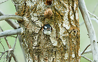 Female Downy Woodpecker tries out its new nesting cavity.