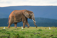 An African Elephant wanders across open grasslands, Addo Elephant National Park, Eastern Cape, South Africa