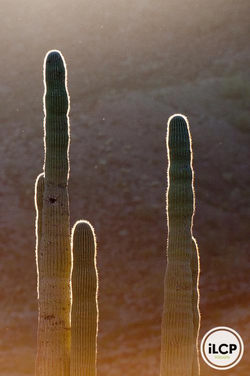 Saguaro cactus (Carnegiea gigantea) at sunrise.