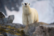 Polar bear, Ursus maritimus, Svalbard, Norway, Arctic
