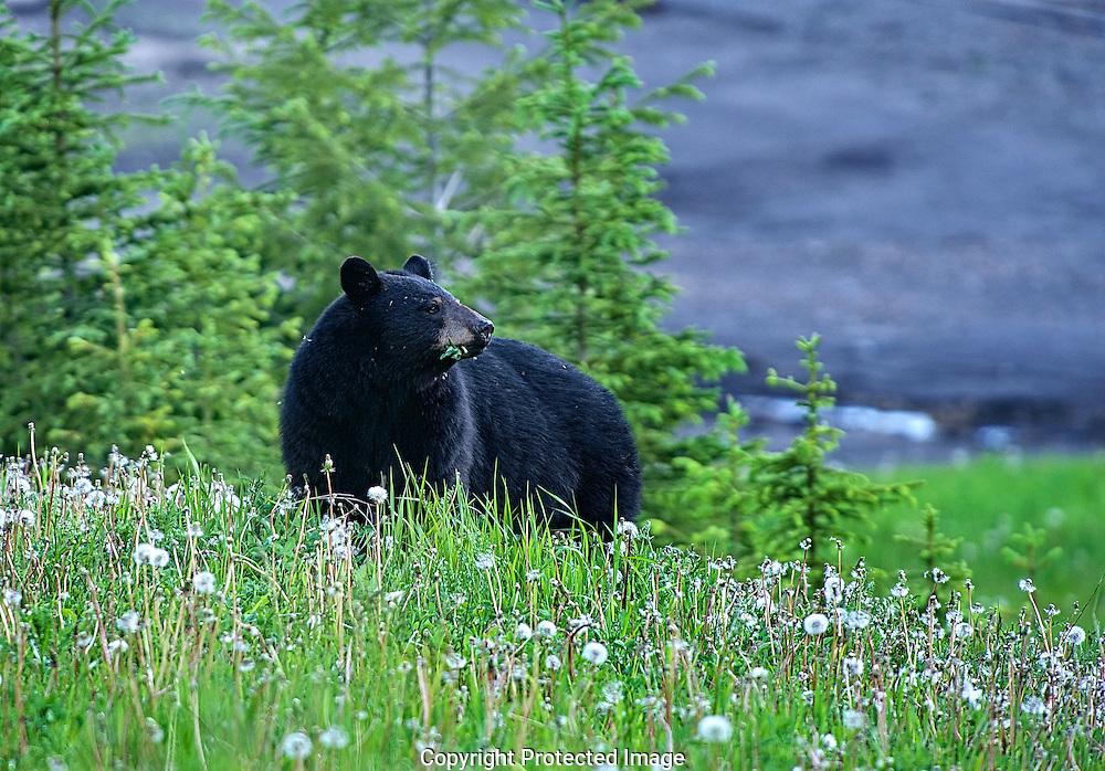 Black Bear. (Ursus americanus), British Columbia, canada, Isobel Springett