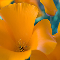 Close-up of a wild California poppy.