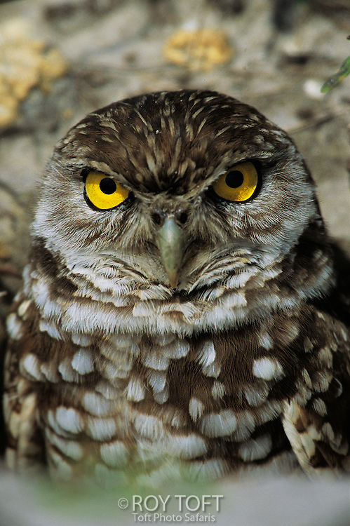 A portrait of a burrowing owl.