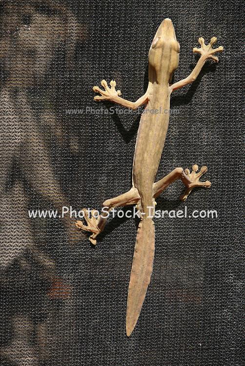 Madagascar, Giant Leaf-tail Gecko (Uroplatus fimbriatus)