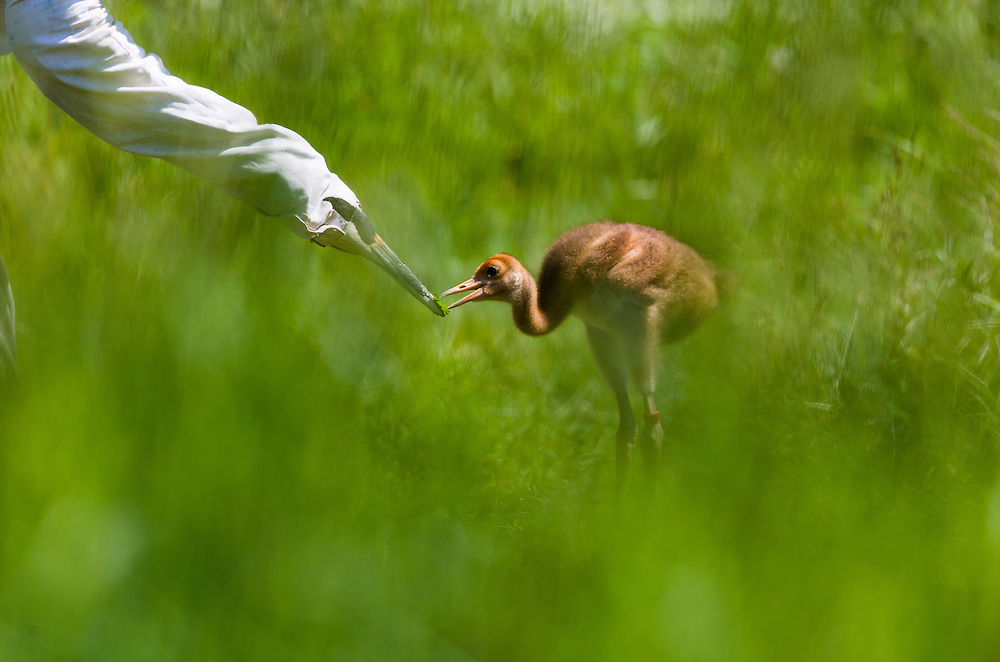 Taking food from the parent is a natural event for a young Whooping Crane.  In the Direct Autumn release program costumed aviculturists raise the chicks just as a Whooping Crane parent would.