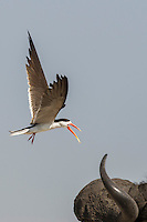 African Skimmer mobbing a Cape Buffalo that has approached too close to the skimmers nest, Chobe River, Kasane, Botswana.