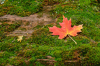 Autumn colored Maple leaves on mossy rock; along Virgin River, Zion National Park