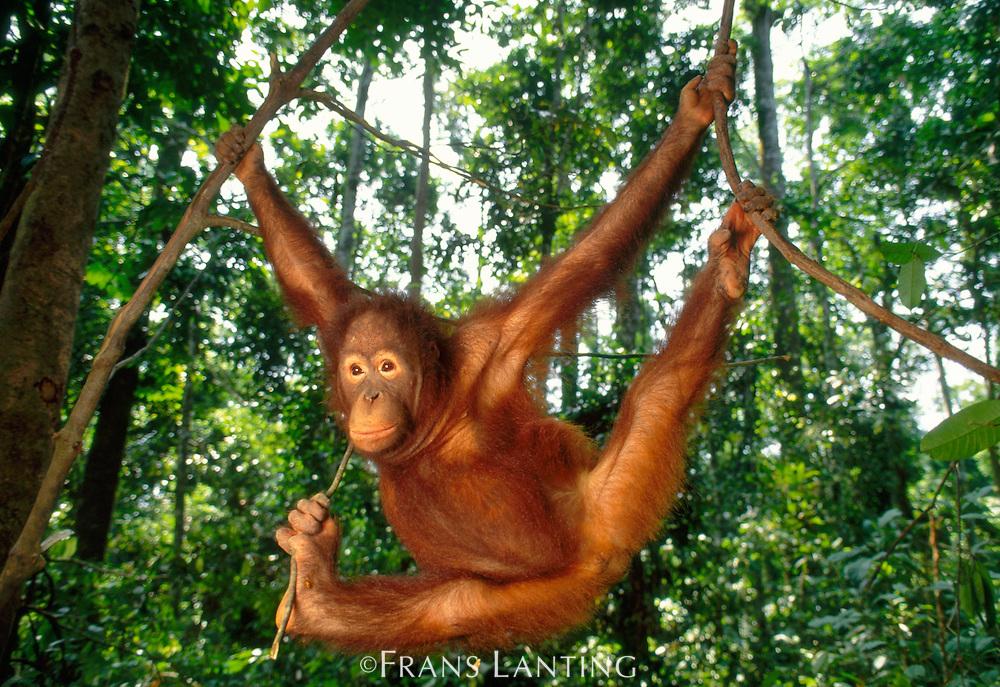 Bornean orangutan juvenile hanging from vines, Pongo pygmaeus, Sepilok Reserve, Sabah, Borneo
