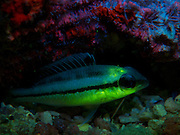 These stunning Underwater UV Animal shots are taken in the Gulf Of Thailand on several different divesites around an island called Koh Tao.<br /> <br /> Photo shows: bream. A little bream resting on the bottom. Taken with an excitation filter on the strobe and a yellow barrier filter in front of the lens.<br /> ©Exclusivepix