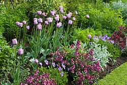 Tulipa 'Bleu Aimable' with Erysimum 'Bloomsy Baby Purple' (wallflower) and Viola cornuta in a spring border at Eastgrove Cottage