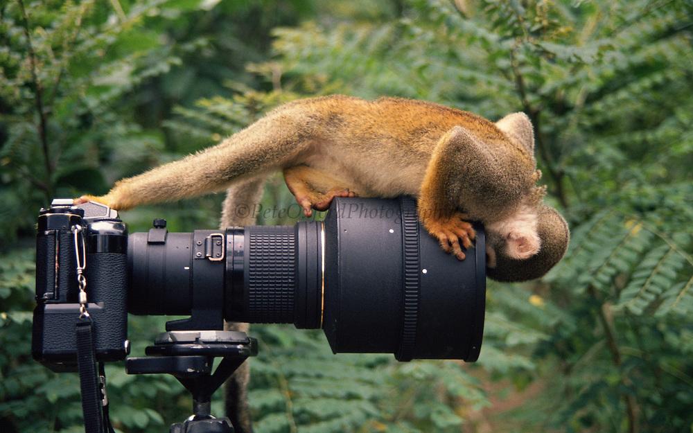 Squirrel Monkey looking into Camera Lenes<br /> Saimiri sciureus boliviensis<br /> Amazon Rain Forest, ECUADOR. South America