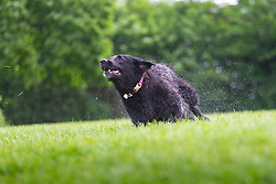 Boisterous Sigi, a five-year-old collie-golden retriever cross romps on the lawns after a swim in the pond on Hampstead Heath in North London. London, May 26 2019.