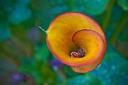Gorgeous, Single Calla Lily, Orange Red, Botanical Gardens, Balboa Park, San Diego, Ca