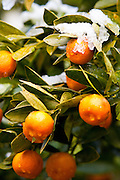 CHARLESTON, SC - February 13: Snow covers an orange tree with fruit February 13, 2010 during a rare snow storm in Charleston, SC. About 3-inches of snow fell on the Charleston area, the first significant snow in 20-years.    (Photo Richard Ellis/Getty Images)