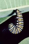Metamorphosis of a Monarch Butterfly Caterpillar (Danaus plexippus), from larvae to chrysalis to adult, on Common Milkweed. (Series, Ohio)