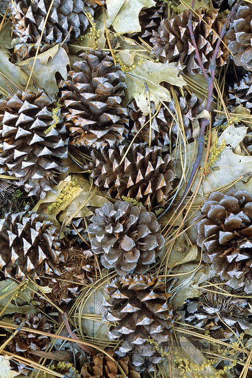 Pine cones on forest floor, above Yosemite Valley, Yosemite National Park, CALIFORNIA