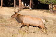The elk herd's tuffest and largest bull. He has fought off satellite (smaller) bulls and is the dominant breeding bull.<br />