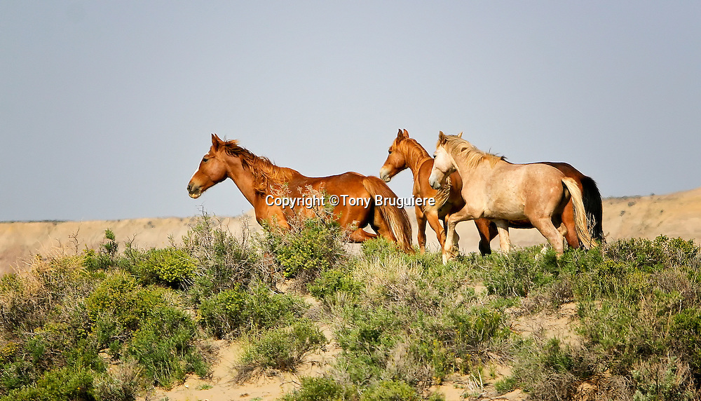 Wild horses are plentiful on the Bureau of Land Management (BLM) land Northeast of Craig, Colorado. Small bands are loosely scattered over 640,000 square acres that stretch northward into Wyoming. Taken together, they comprise the Sandwash Herd in Colorado and the Adobe Town Herd in Wyoming.