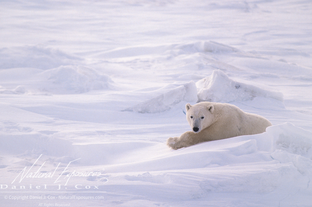 An adult polar bear (Ursus martitimus) resting on the ice pack of Hudson Bay, Canada.