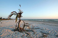 "A small palm tree washed up on shore and was ""planted"" by a beach walker on Sanibel Island, Florida."