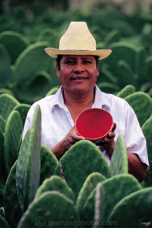 Oaxacan weaver Benito stands by prickly pear cacti with a mortar of ground cochineal; the red dye is made from boiling cochineal female scale insects (Dactylopius coccus) ((the males live blind only long enough to reproduce)) to remove their protective coatings, and then they are then ground into a red pasty dye. The cochineal feed off the prickly pear cacti. Oaxaca, Mexico. (Man Eating Bugs page 121)