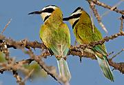 White-throated Bee-eaters (Merops albicollis) from Lake Natron, northern Tanzania.