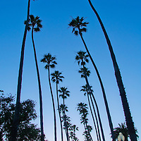 Mexican Fan Palms (Washingtonia robusta) amid the sunset at Palisades Park on Thursday, June 20, 2013.