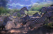 A small herd of zebras (Equus burchelli) explode out of a small water hole. Zebras are wary at the best of times and are positively skittish near water, due to the ever present danger posed by lions. ......................9 explode out of a waterhole in Kenya's Masai Mara National Park.Wary at the best of times, Zebras are extremely skittish at water holes, due to the ever-present danger, from lions.