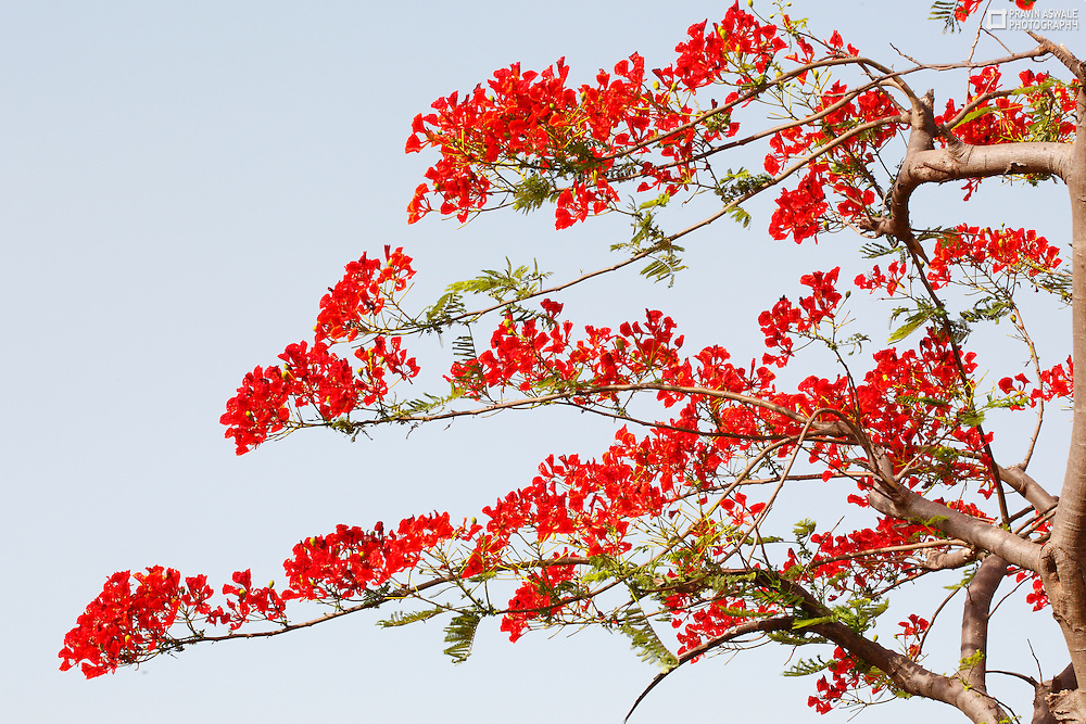 RED FLOWERS, IN FULL BLOOM SPRING SUMMER INDIA.