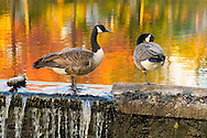 Port Washington, New York, U.S. 27th October 27, 2013. Two geese stand on stone wall with water running over it, with colors of fall foliage reflected in pond, at Port Washington on North Shore of Long Island,