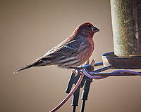 House Finch (blind in one eye). Image taken with a Nikon D5 camera and 600 mm f/4 VR lens (ISO 640, 600 mm, f/4, 1/1250 sec)