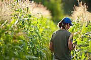 A worker checks for ripe corn to harvest at Bell Organic Gardens in Sandy Utah.