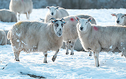 Sheep forage for food in the snow.<br /><br />The snow had taken West Lothian by surprise on Christmas night.<br /><br />(c) Alex Todd | Edinburgh Elite media