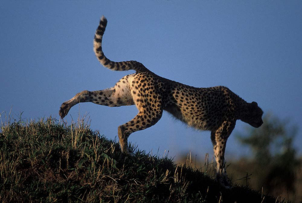 Kenya, Masai Mara Game Reserve, Adult Female Cheetah (Acinonyx jubatas) stretches after afternoon rest on savanna