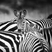 Zebra foal takes refuge in herd