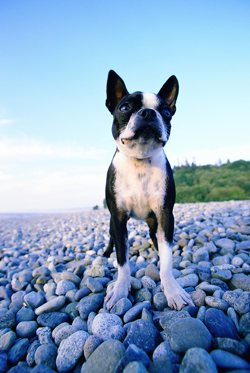 Boston Terrier on a rocky beach.