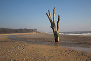 Dramatic dead tree standing on the beach at low tide Benacre, Suffolk, England