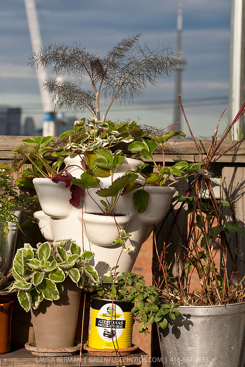 A white ceramic strawberry pot with variegated and all green strawberry plants and a bronze fennel plant in an inventive urban rooftop container garden.