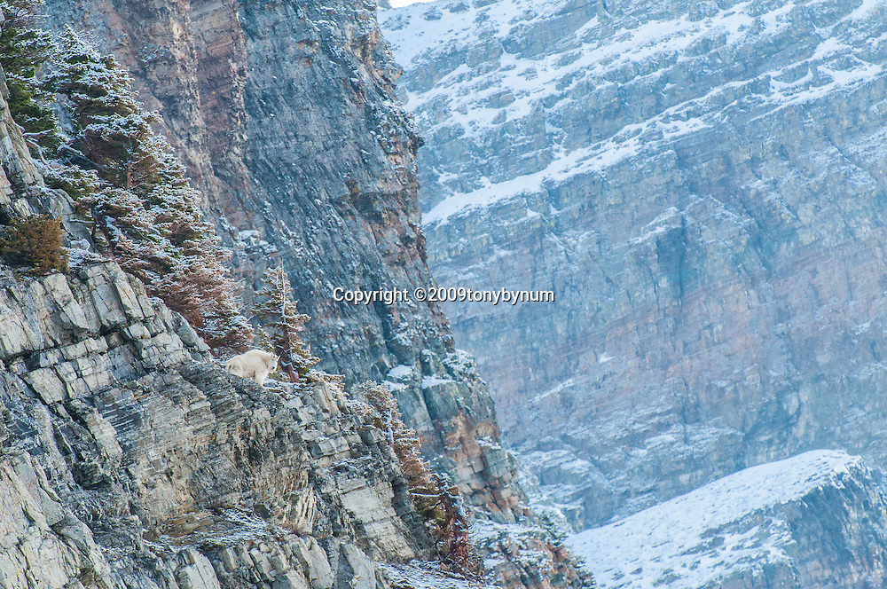mountain goats on cliff