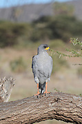 Kenya, Samburu National Reserve, Kenya, Eastern (Pale) Chanting Goshawk or Somali Chanting Goshawk (Melierax poliopterus) on a tree