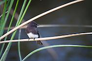 A black phoebe perches on a slender wetland grass stalk