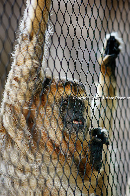SHOT 2/16/14 3:32:44 PM - A howler monkey peers out of its habitat enclosure at the Denver Zoo in Denver, Co. Howler monkeys (genus Alouatta monotypic in subfamily Alouattinae) are among the largest of the New World monkeys. Fifteen species are currently recognised. Previously classified in the family Cebidae, they are now placed in the family Atelidae. These monkeys are native to South and Central American forests. Threats to howler monkeys include human predation, habitat destruction and being captured for captivity as pets or zoo animals. These monkeys are famous for their loud howls, which can travel three miles through dense forest.<br /> (Photo by Marc Piscotty / &copy; 2014)