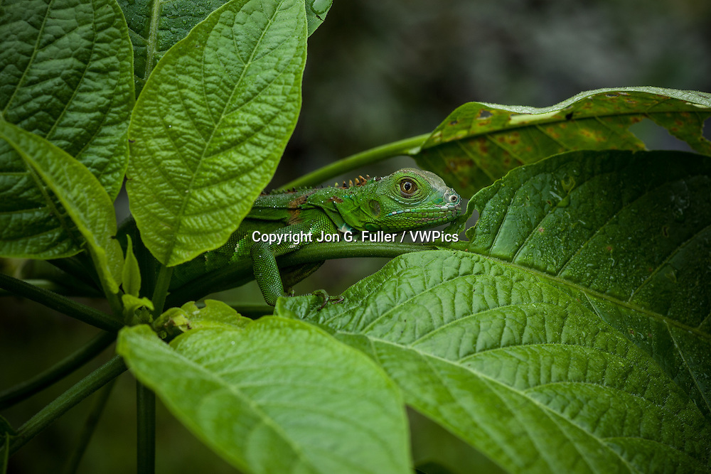 A juvenile Green Iguana,  Iguana iguana, hides in  leaves for protection in Costa Rica.