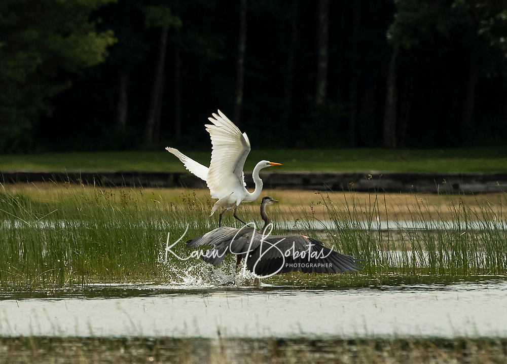 Lake life in New Hampshire.  Great Egret, Blue Heron and Bald Eagle and Red Tailed Hawk in their natural habitat.  ©2020 Karen Bobotas Photographer