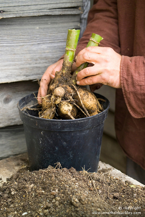 Lifting dahlias for winter storage. Potting up tubers