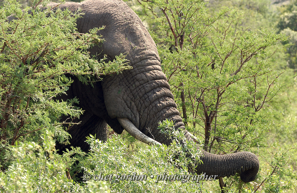 KWAZULU NATAL, SOUTH AFRICA.  African elephant at the Hluhluwe Umfolozi Game Reserve in KwaZulu Natal, South Africa on Friday, September 15, 2006. Established in 1895, Hluhluwe Umfolozi is South Africa's oldest game park.    © www.chetgordon.com