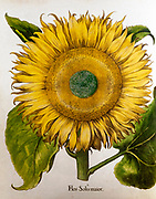 Hand painted Helianthus annuus (sunflower) from Hortus Eystettensis, a codex produced by Basilius Besler in 1613 of the garden of the bishop of Eichstätt in Bavaria.
