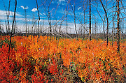 Autumn foliage in regeneration after burn <br /> Smith<br /> Alberta<br /> Canada